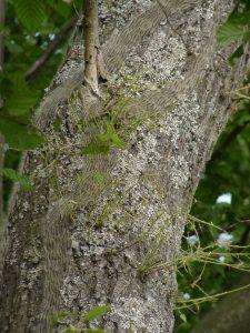 Oak processionary moth caterpillar