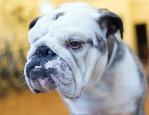 Brachyzephalischer Hund