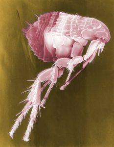 flea under electron microscope